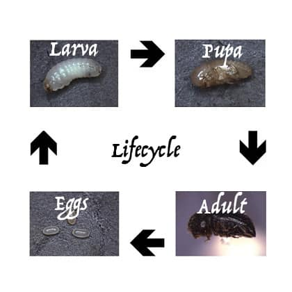coffee berry borer lifecycle