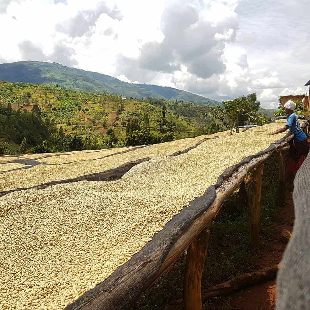 Congo Coffee Beans Espresso Guide 1000 Green Bean