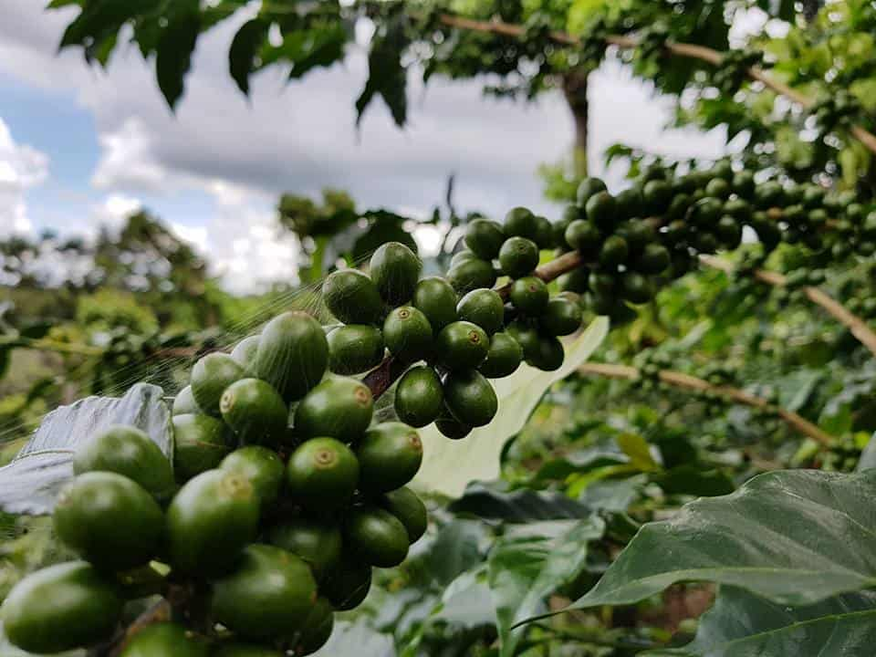 El Salvador Coffee Beans Espresso Amp Coffee Guide
