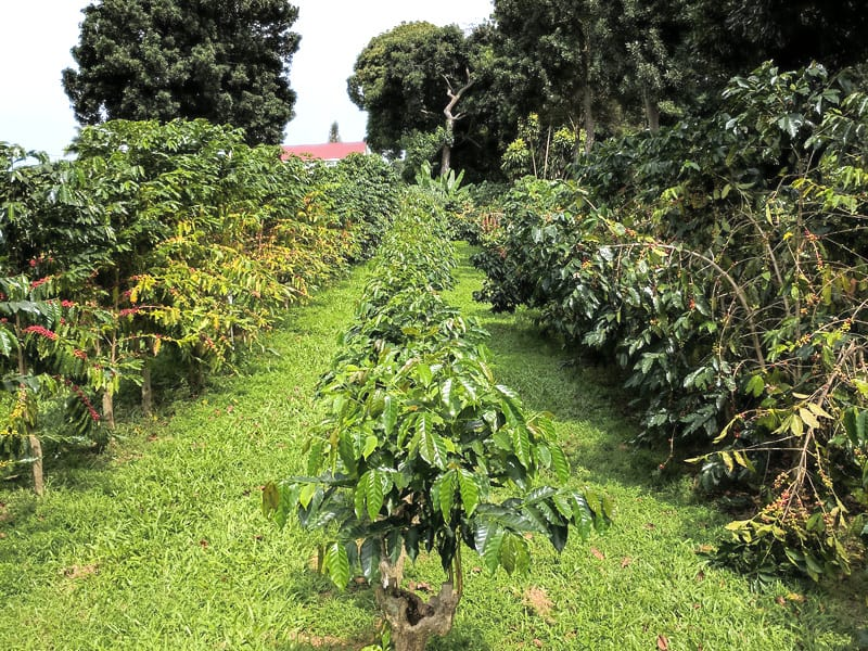 Hawaiian Kona Coffee Beans - Espresso & Coffee Guide