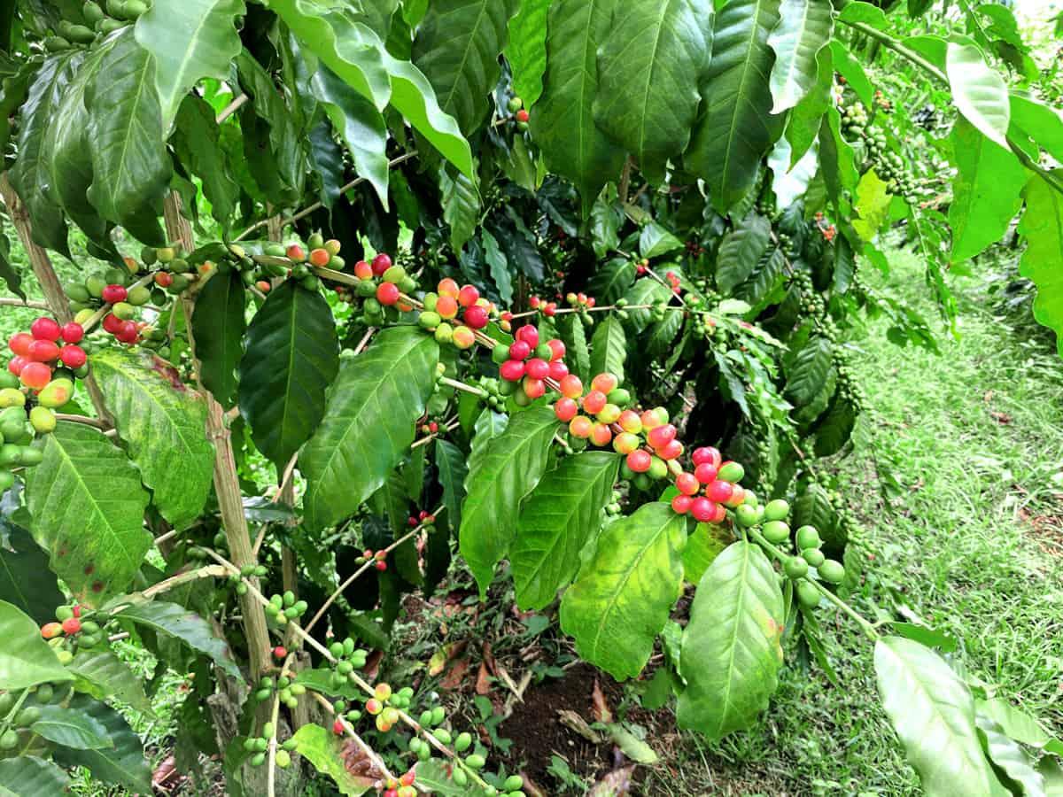 Honduran Coffee Beans - Espresso & Coffee Guide