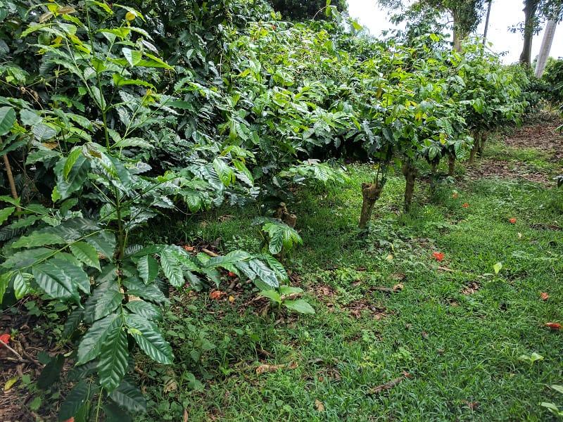 HAWAIIAN KONA COFFEE PLANT SEEDS ~ GROW HAWAII