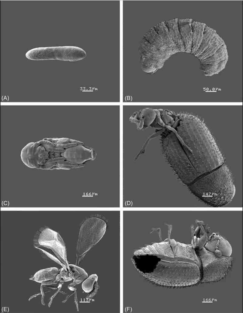 coffee borer parasite lifecycle